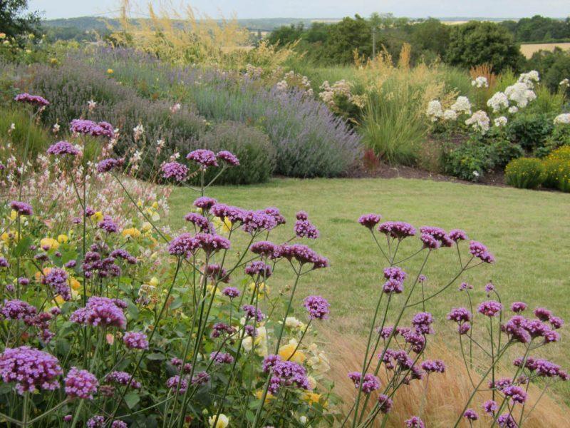 massif vivaces - zoom verveines violette